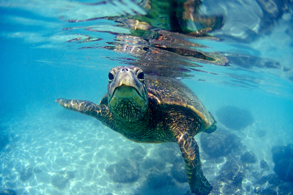 oahu surfing north shore turtles hawaii